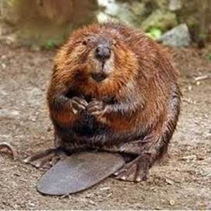Escapades nature - A l'affût des castors...