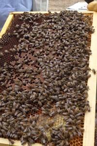 Découverte de l'apiculture