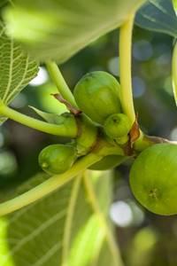 Jours de Figues
