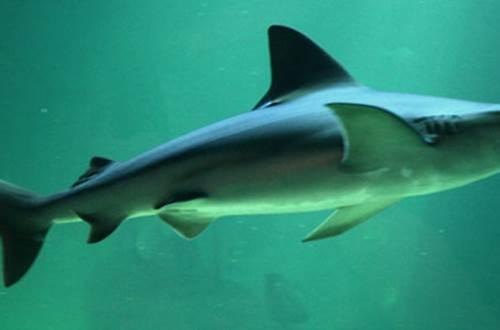 requin ©
