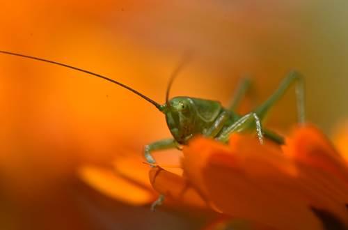 Grande sauterelle verte © A. Surelle