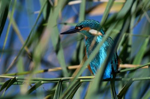 Martin pêcheur-Parc Ornithologiques de Pont de Gau ©