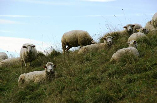 Aigoual moutons ©