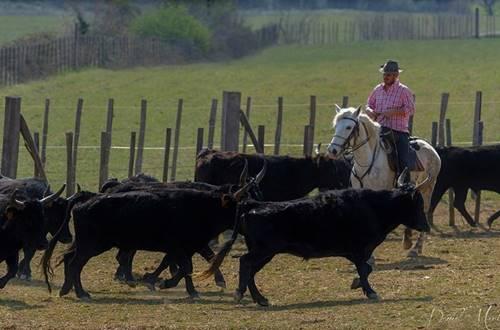 Manade Devaux gardian et troupeau de taureaux de Camargues © Manade Devaux - Daniel M.